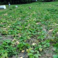 At start of Butterbush squash harvest.