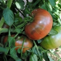 Cherokee Purple tomato.