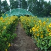 Cucumber Leaf Sunflower (Beach Sunflower) under bird netting.