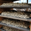 Tennessee Red Valencia Peanuts drying.