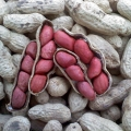 Tennessee Red Valencia Peanuts. After harvest, in the shell.