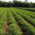 Tennessee Red Valencia peanut plants at midseason