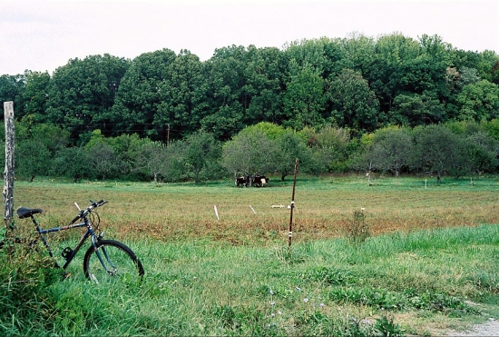 Twin Oaks Intentional Community Pasture Cows Apple