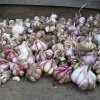 Dried garlic.