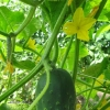 Greenhouse cuke